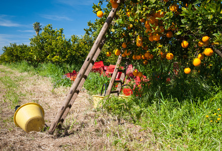 orange tree: Wooden ladders leaned on orange trees and yellow plastic pails on the ground during the harvest season Stock Photo