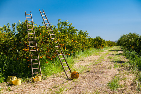 Wooden ladders leaned on orange trees and yellow plastic pails on the ground during the harvest season Фото со стока - 38664894