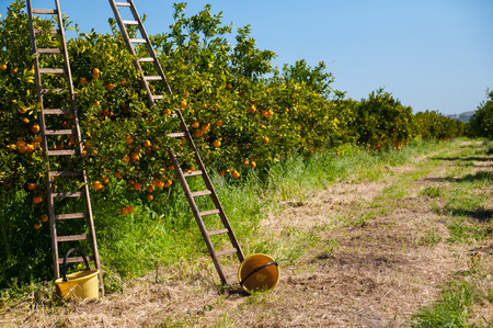 Wooden ladders leaned on orange trees and yellow plastic pails on the ground during the harvest season Фото со стока