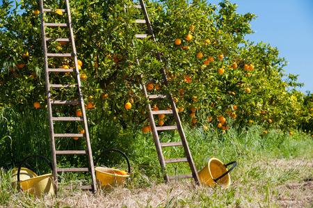 Wooden ladders leaned on orange trees and yellow plastic pails on the ground during the harvest season Stock Photo