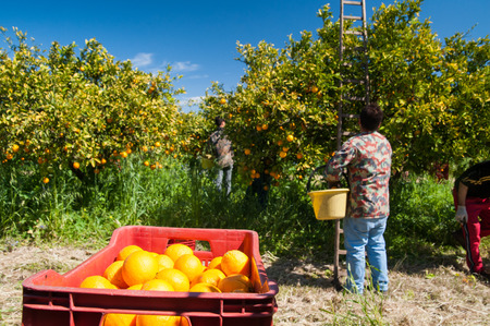 gatherer: Red plastic fruit box full of oranges and pickers at work