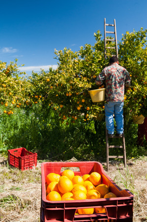 Red plastic fruit box full of oranges and pickers at work Stok Fotoğraf - 38744687