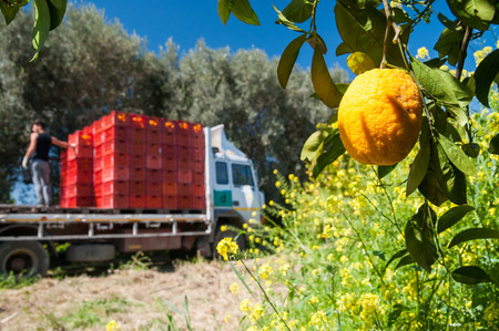 Close up view of an orange on the tree and a truck loaded with fruit boxes Stock Photo