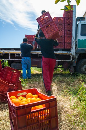 Fruit boxes full of oranges and pickers carrying them on Their shoulders to load them on a truck during the harvest season in Sicily Фото со стока