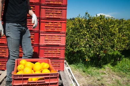 Red fruit boxes full of oranges loaded on a truck and snowy Mount Etna in the distance during harvest season in Sicily