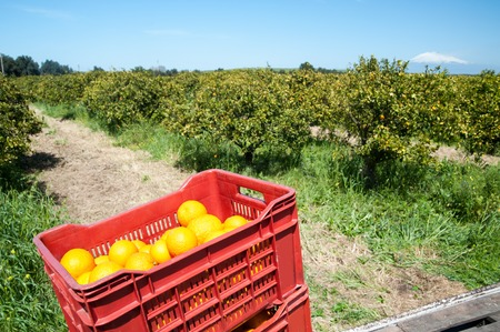 gatherer: Red fruit boxes full of oranges loaded on a truck and snowy Mount Etna in the distance during harvest season in Sicily