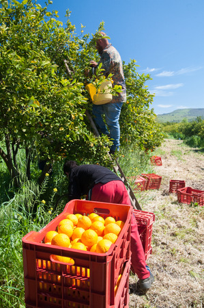 gatherer: Red plastic fruit box full of oranges and pickers at work Stock Photo