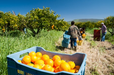 Blue box full of oranges and fruit pickers at work