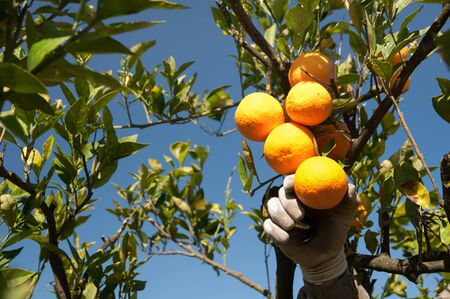 gatherer: Hand of a gatherer while picking some oranges from a tree during harvest time Sicily Stock Photo