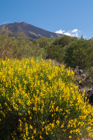 herba: A typical broom plant of Mount Etna with a view of the volcano