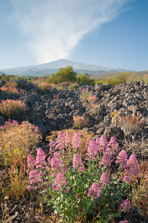 valerian: Landscape with blooming valerian plants lava rocks and smoking Mount Etna in the distance Stock Photo