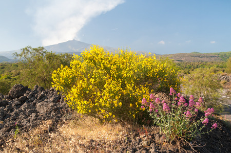 valerian: Landscape with blooming valerian and broom plants lava rocks and smoking Mount Etna in the distance