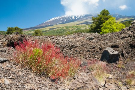 red bush: Typical red bush of Mount Etna growing on an old lava flow with the smoking volcano in the background