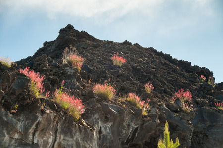 red bush: Typical red bush of Mount Etna growing on an old lava flow