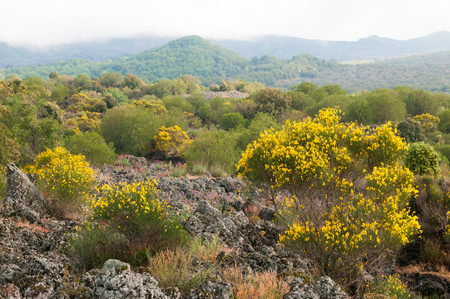 herba: Landscape of Mount Etna with blooming broom plants lava rocks and trees