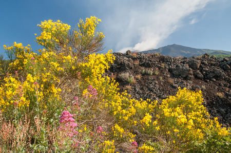 herba: Landscape of Mount Etna broom plants with blooming trees and the lava rocks volcano surrounded by clouds