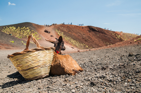 folkloristic: Young goat and a wicker basket close to one of Mount Etna craters