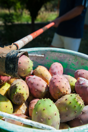 picker: Bucket full of just picked prickly pears and a picker using a typical sicilian coppo to handle them Stock Photo