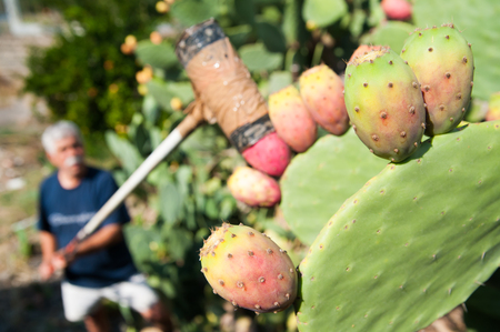 picker: Siciian prickly pear picker at work using the typical regional tool called Coppo
