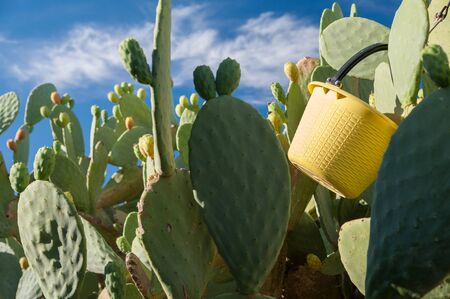 picker: A yellow pail of a picker hung on a cactus plant during harvest season in Sicily