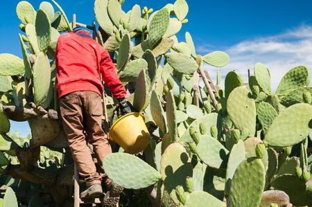 picker: A prickly pear picker With His yellow pail on a wooden ladder during harvest season in Sicily Stock Photo