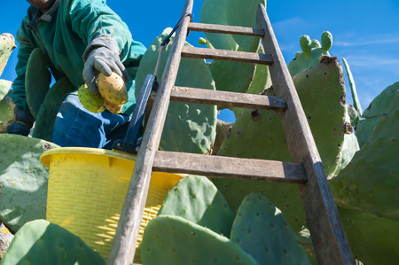 picker: Wooden ladder leaned on a cactus plant while a picker is loading his yellow pail with prickly pears