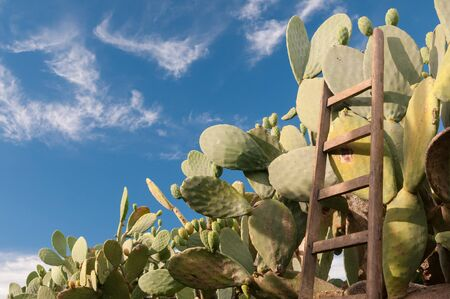 leaned: Wooden ladder of a picker leaned on a cactus plant
