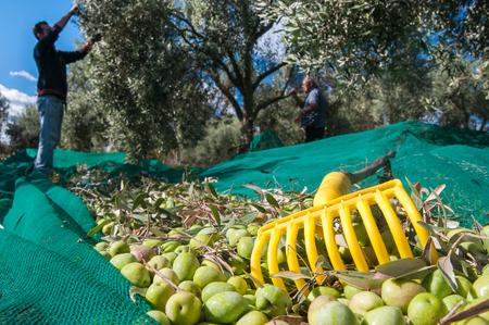 hoja de olivo: Rastrillo de oliva amarillo y aceitunas recién cosechadas en la red y recolectores en el trabajo