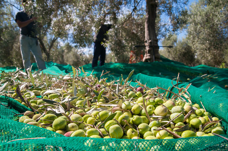 Just picked olives on a typical green net and  pickers in the background