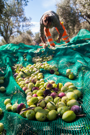 picker: Just picked olives on a typical green net and a picker in the background