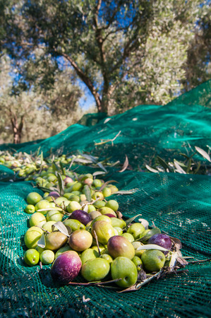 olive  tree: Just picked olives on a typical green net