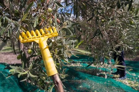 leaned: Yellow olive rake leaned on a tree during olive picking
