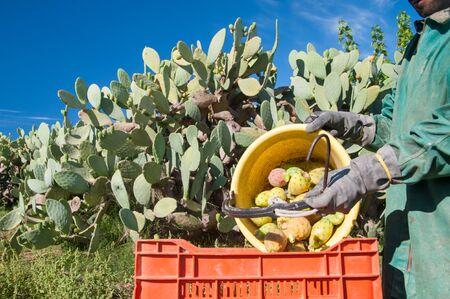 emptying: Prickly pears picker emptying his pail into a red fruit box