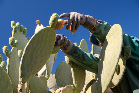 picker: Close up view of a picker while picking a prickly pear  from a cactus plant Stock Photo