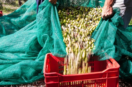 olive  tree: Pickers unloading a net full of olives into a red fruit box Stock Photo