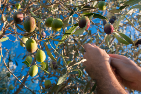 picker: Close up view of some olives on a tree and the hands of a picker at work in the background