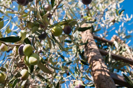 Close up view of some olives on a tree and a wooden ladder leaned on it