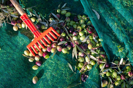 Red olive rake and just picked olives on the net Stok Fotoğraf - 48568957