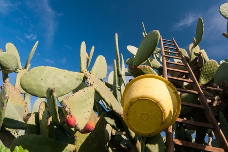 leaned: Wooden ladder and a yellow pail leaned on a cactus plant