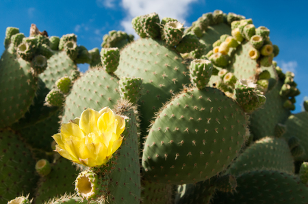 thorny: Yellow cactus flower on a thorny plant