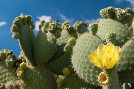 trees with thorns: Yellow cactus flower on a thorny plant