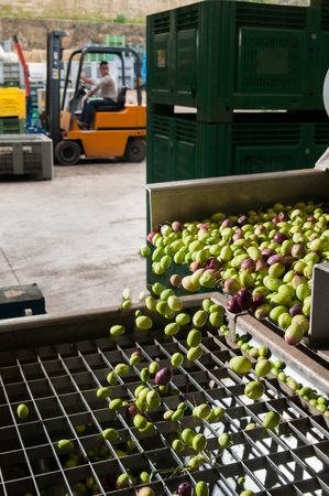 sift: The process of cleaning the olives in a modern oil mill Stock Photo