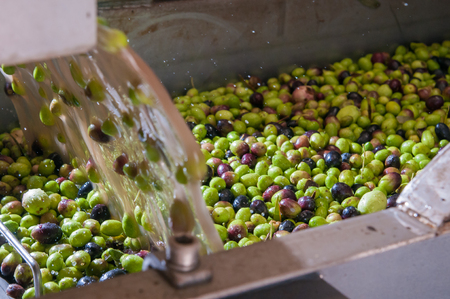 oil mill: The process of olive cleaning in a modern oil mill