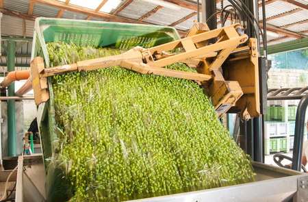 defoliation: A forklift unloading an olive bin into a metal funnel before defoliation and washing