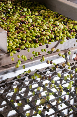 oil mill: The process of olive cleaning and defoliation in a modern oil mill