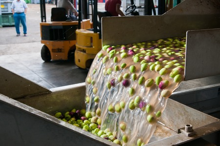 The process of cleaning the olives in a modern oil mill Фото со стока