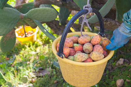 picker: A picker fulling his pail with just picked prickly pears of the variety called bastardoni