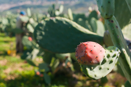 oddity: Prickly pear of the variety called bastardoni grown inside a leaf of the tree