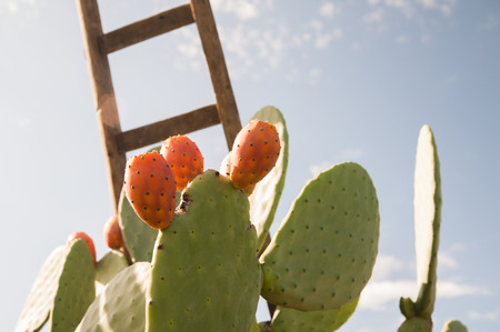 Prickly pear of the variety called bastardoni and a wooden ladder in a cactus grove during harvest time