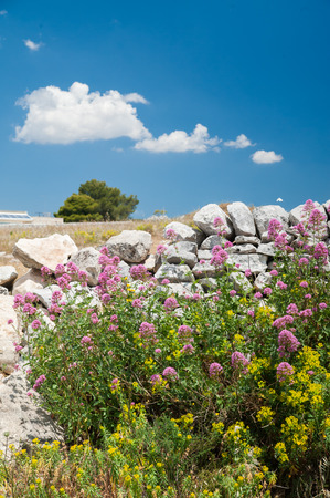 valerian: Valerian plant and a dry stone wall in the fields near Ragusa, Sicily